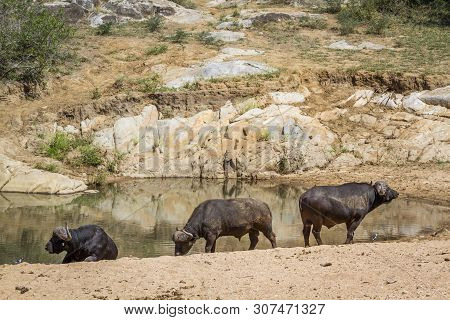 Three African Buffalo Along A Waterhole In Kruger National Park, South Africa ; Specie Syncerus Caff