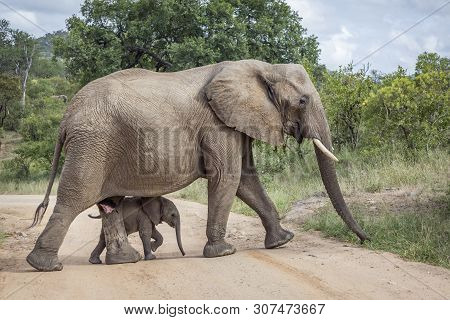 African Bush Elephant Female With Baby In Kruger National Park, South Africa ; Specie Loxodonta Afri