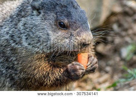 Adorable Small Funny Young Groundhog (marmota Monax) Holds A Carrot With Both Hands