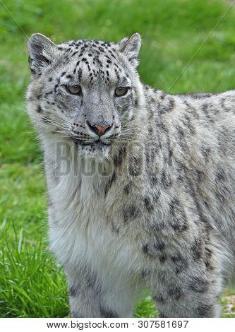 Snow Leopard - Portrait, taken in enclosure poster