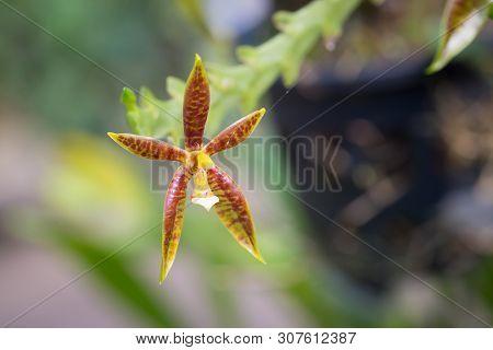 Phalaenopsis Cornucervi (breda) Blume Orchid Flower