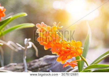 Ascocentrum Miniatum, Beautiful Orange Orchid Flower With Sunlight