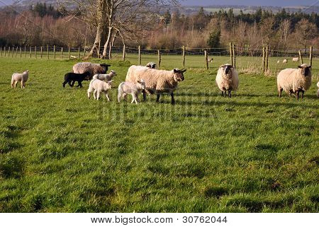 small herd of sheep