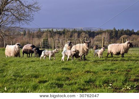 lambs and sheep
