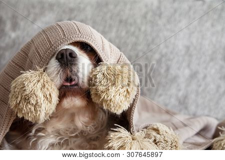Sick, Playful  Or Scared Cavalier Dog Puppy Covered With A Warm  Tassel Blanket On Sofa.