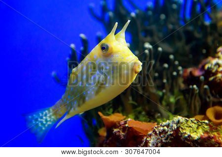 Fish Swims At Coral. Beautiful Exotic Fish In Deep Blue Water. Tropical Yellow Fish In Marine Life A
