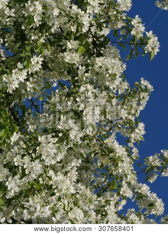 The Exuberant Cherry Blossoms In The Orchard