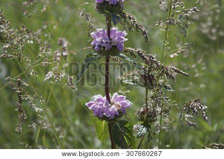 Phlomis Tuberosa. Flowers Of Phlomoides Tuberosa. Honey Plant. Kazakhstan.
