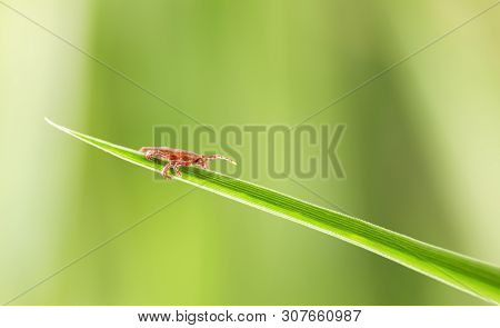 Macro Of Bloodsucker Vermin Dog Tick (dermacentor Variabilis) Waiting For A Host Animal On Grass Bla