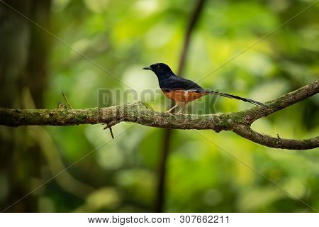White-rumped Shama - Copsychus Malabaricus Small Passerine Bird Of The Family Muscicapidae. Native T