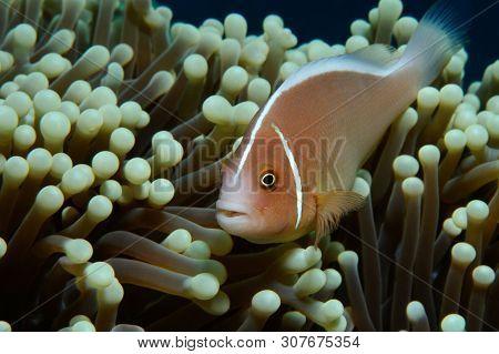 Pink Anemonefish /pink Anemonefish Diagonal Pink Anemonefish Is Hiding In Anemone, Panglao, Philippi