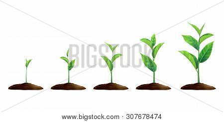 New Realistic Sprouts. Phases Of Plant Growing. Seeds Sprout In Ground. Sprout, Plant, Tree Growing
