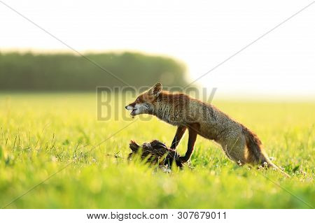 Red Fox Vixen Ptect Prey  On Meadow In The Morning - Vulpes Vulpes