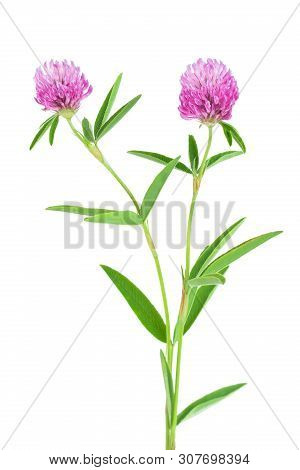 Clover Or Trefoil Flower Medicinal Herbs Isolated On White Background