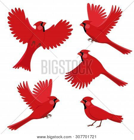 Bird Red Cardinal In Different Positions. Isolated Vector Image On White Background.
