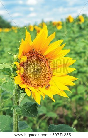 Ripe Sunflower In The Field. Beautiful Countryside In Summer. Sunny Weather With High Clouds In The