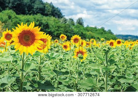Ripe Sunflowers In The Field. Beautiful Countryside In Summer. Sunny Weather With High Clouds In The