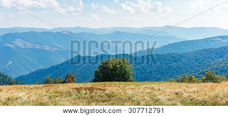 Panorama Of A Mountain Landscape. Beech Tree On The Edge Of A Meadow In Weathered Grass. Svydovets R