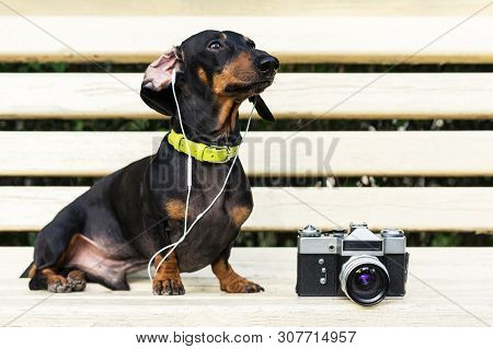Cute Dog Dachshund, Black And Tan, In Collar, Listening To Music With Headphones, And Vintage Photo