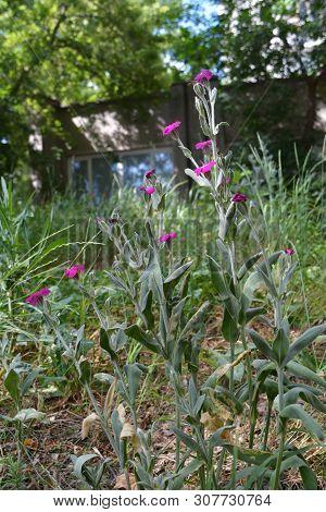 Lychnis coronaria. Pink rose campion flowers grow in city yard. Urban greening. poster