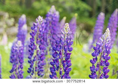Lupinus Polyphyllus Flowers, Seasonal Natural Scene. Beauty In Nature.