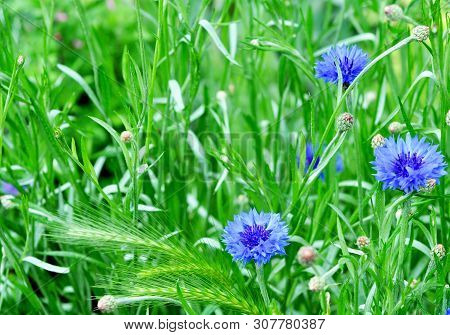 Beautiful Blue Wildflowers Cornflowers. Flowers With Green Grass.