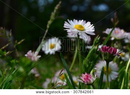 View Of Flowering Daisies, South Bohemia, Czech Republic
