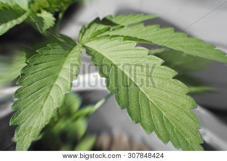 Marijuana Leaf Close Up High Quality Stock Photo