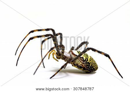 Yellow Black Crab Spider On White Background. Tropical Insect Hunter Spider Closeup Photo. Exotic Sp