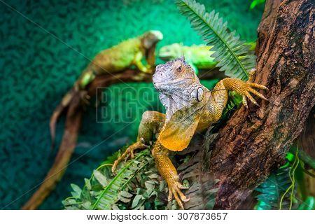 Beautiful Closeup Portrait Of A American Green Iguana In A Tree, Tropical Lizard Specie From America
