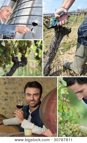 wine maker, oenologist, grapes and vines