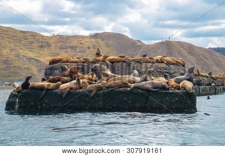 Northern Sea Lion Steller On A Bricquator On Sakhalin Island In The City Of Nevelsk. Eared Seal Stel