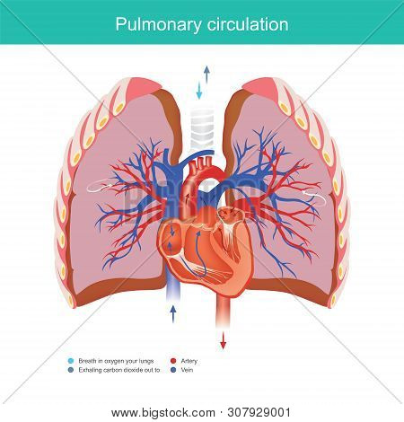Explain Working Duty For The Heart And Lungs Apply Oxygen Gas From The Environment Into The Blood Sy