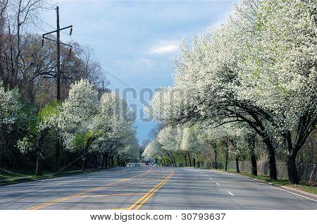 Flowering Bradford Pear Trees