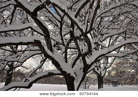 Snowy Tree in Central Park