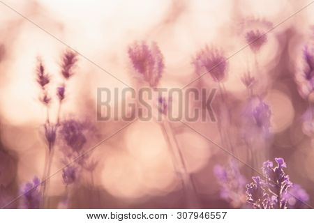 Lavender Flowers In Sunset In Nature. Sunset In Flower Field Nature Background. Close Up Of Lavender