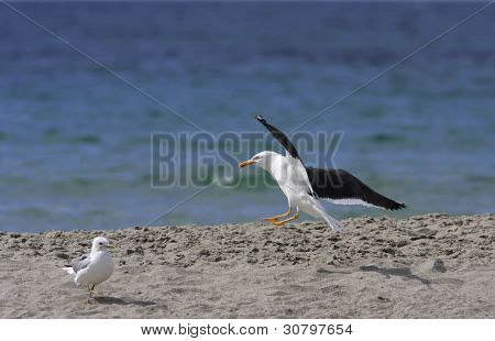 Larus marinus, black-backed gull land on the shore.