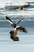 Steller's sea eagle and white-tailed eagle fighting over fish, Hokkaido, Japan, majestic sea raptors with big claws and beaks, wildlife scene from nature,birding adventure in Asia,birds in fight poster