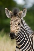 Young burchell zebra with mottle green background poster