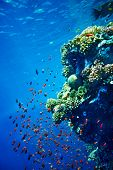 Group of coral fish in blue water. Diving. poster