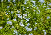 Gorgeous Myosotis sylvatica blooming in the grass. poster
