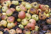 Pile (heap) of rotting and decomposing apples poster