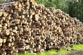 Wooden Logs with Forest on Background. Woodpile of freshly harvested logs. Destruction of forests poster