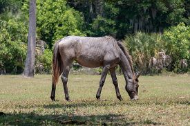 A Wild Horse Grazing At Cumberland Island National Seashore.