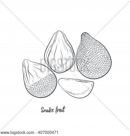 Snake Fruit Sketch Vector Illustration. Hand Drawn Salak Fruit Sketch Isolated On White Background.