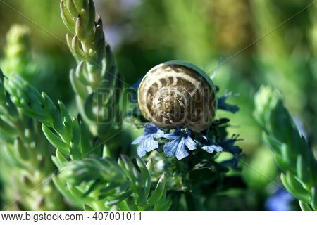 Macro Of Small Garden Snail Eating Spring  Flower On Garden