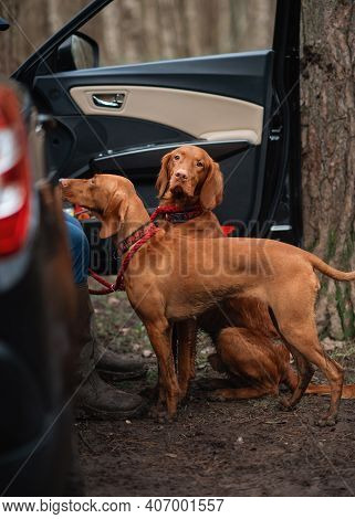 Two Red Vizsla Dogs Walking Near Car