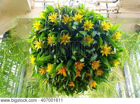 The Hanging Tropical Plants Of Guzmania ′depladia′ Diana In Round Shape