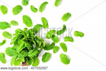 Mint Leaves Isolated On White Background, Herbs And Spices Concept.