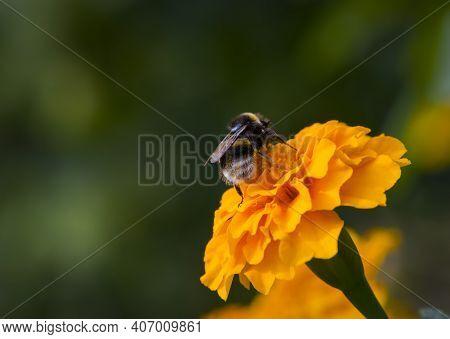 Bumblebee On An Orange Flower Marigolds, Close-up, Back View. Fluffy Bumblebee On Calendula Flower,